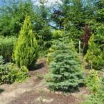 drzewkaozdobne2