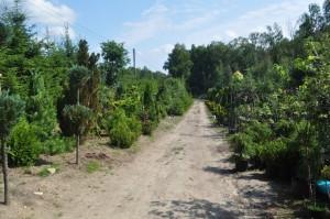 drzewkaozdobne3